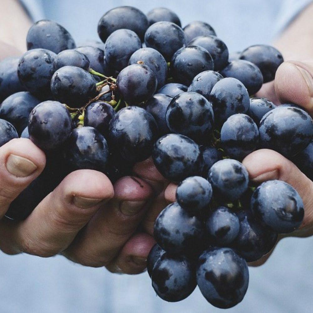Grape varieties in the UK